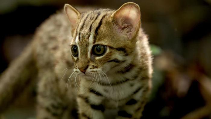 Le chat léopard d'inde : le plus petit chat du monde