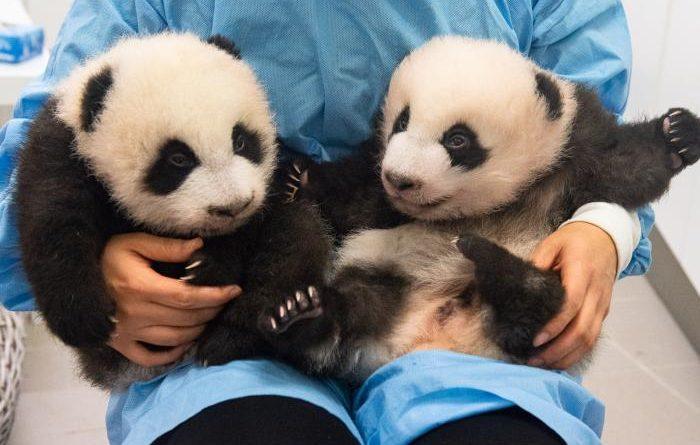 deux bébés pandas géants