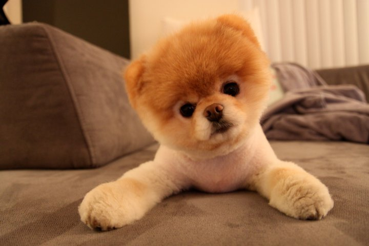 Top 10 animaux les plus mignons le loulou de poméranie