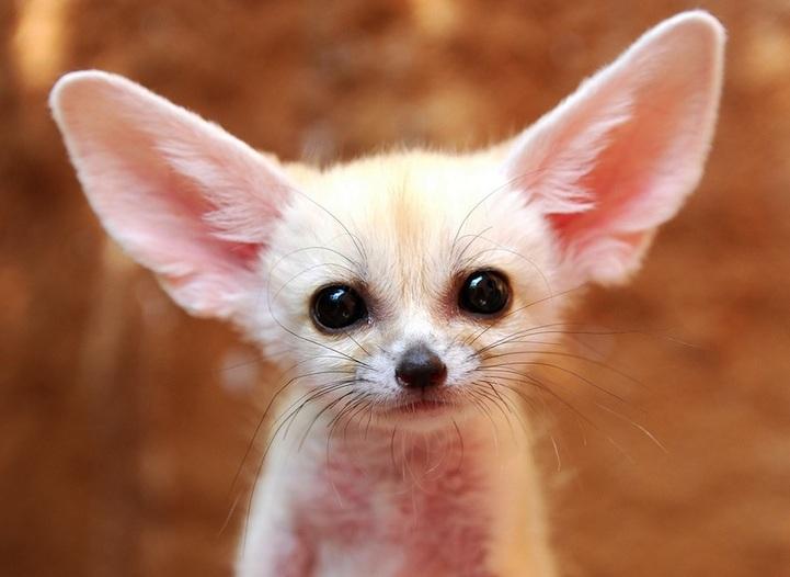 Top 10 animaux les plus mignons le fennec