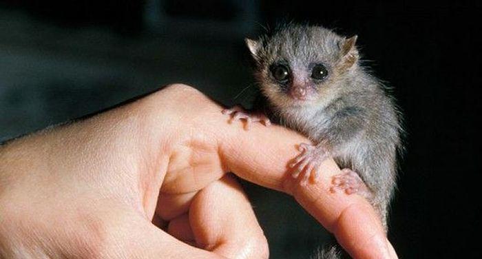 Top 10 animaux les plus mignons le lémurien microcebus