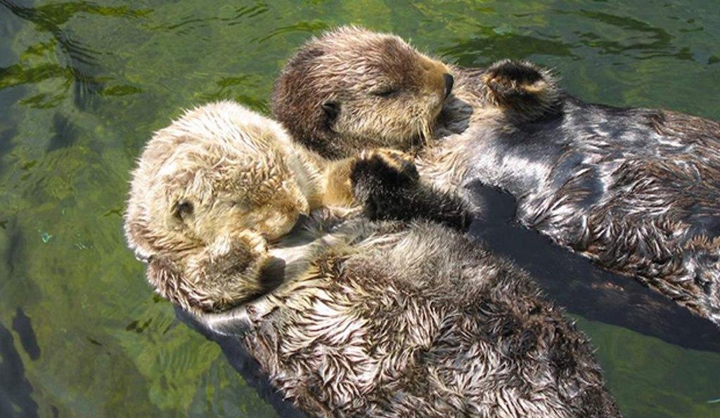 Top 10 animaux les plus mignons la loutre de mer