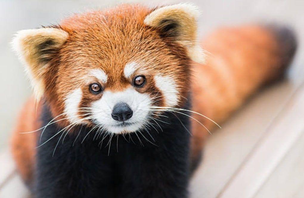 Top 10 animaux les plus mignons le panda roux