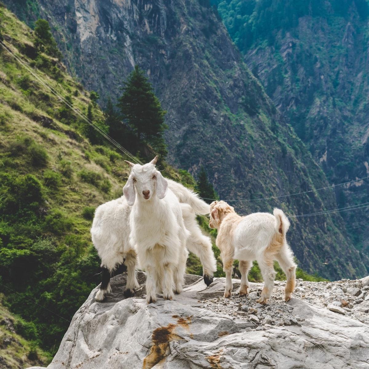 Chèvre mignonne sur un rocher