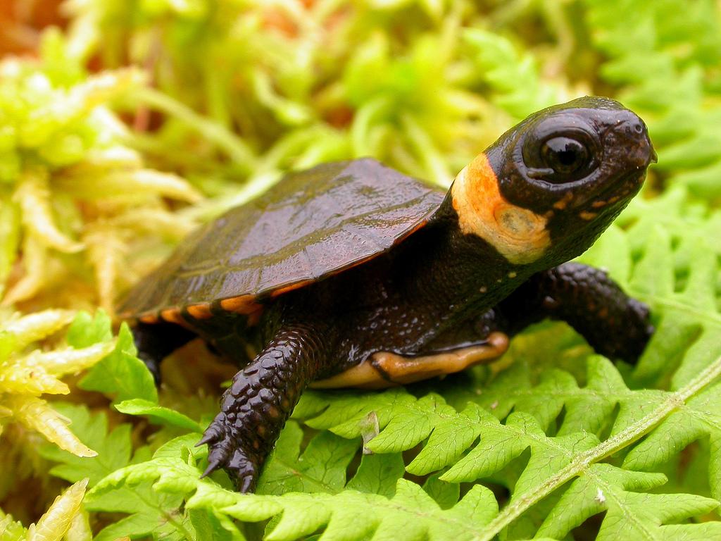 Top 10 animaux les plus mignons la tortue de muhlenberg