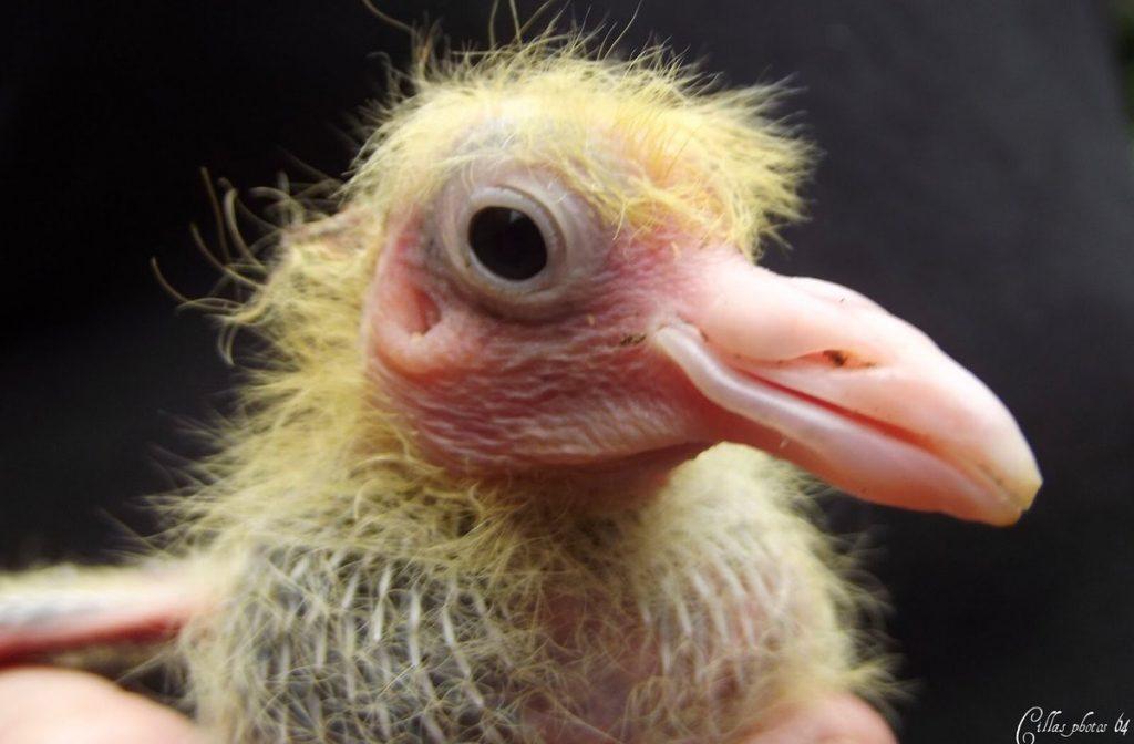 portrait-bebe-pigeon