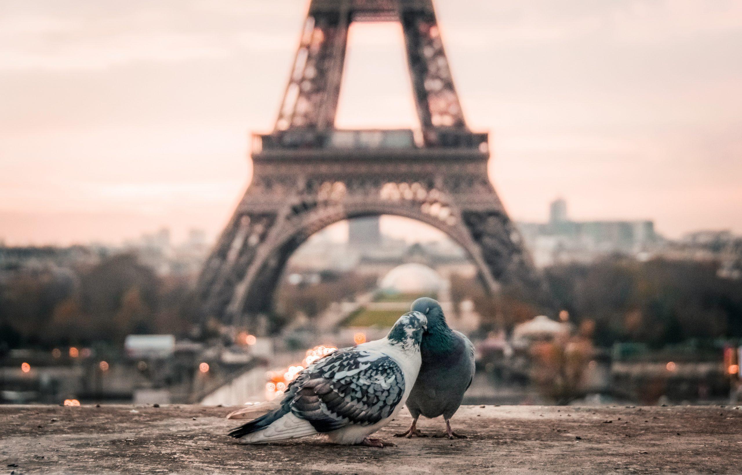 couple de pigeons devant la Tour Eiffel à Paris