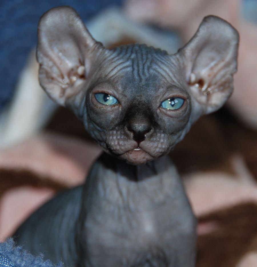Elf cat chat moche