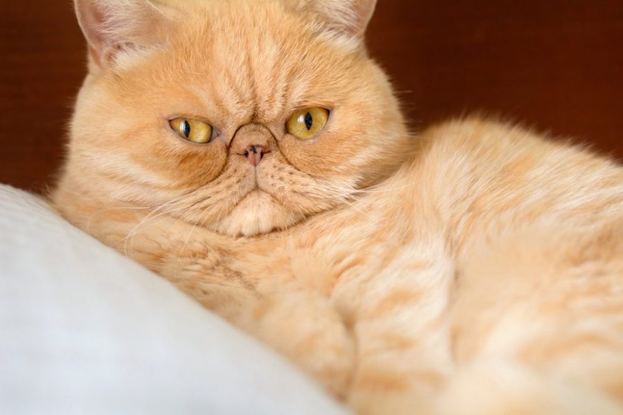L'exotic Shorthair chat moche