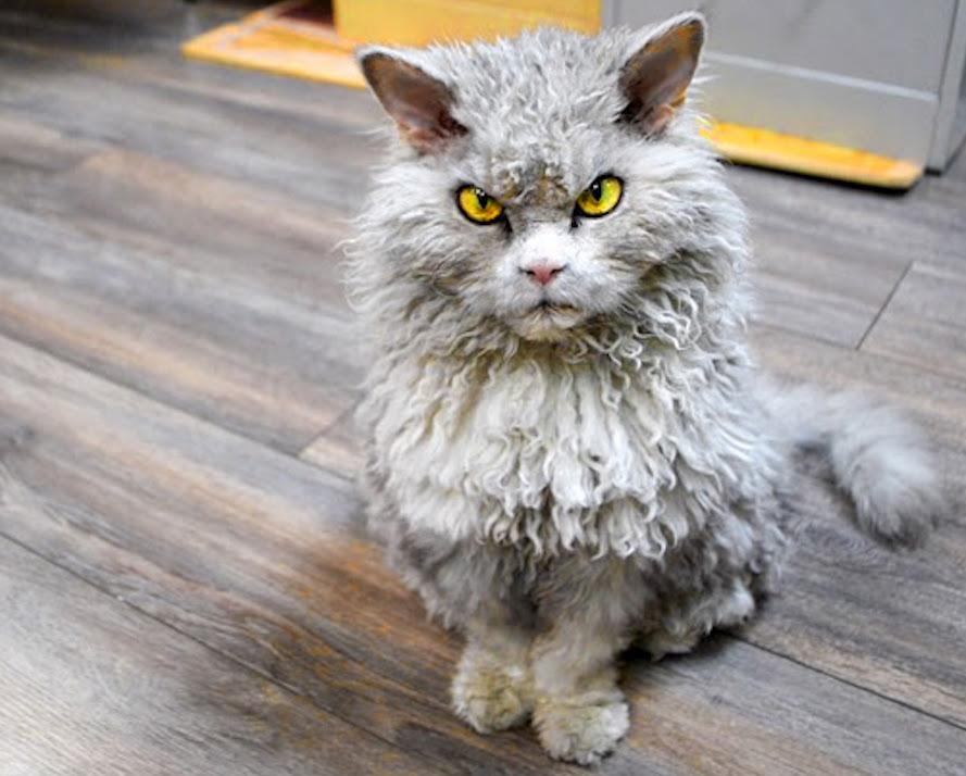 Le Laperm un chat moche