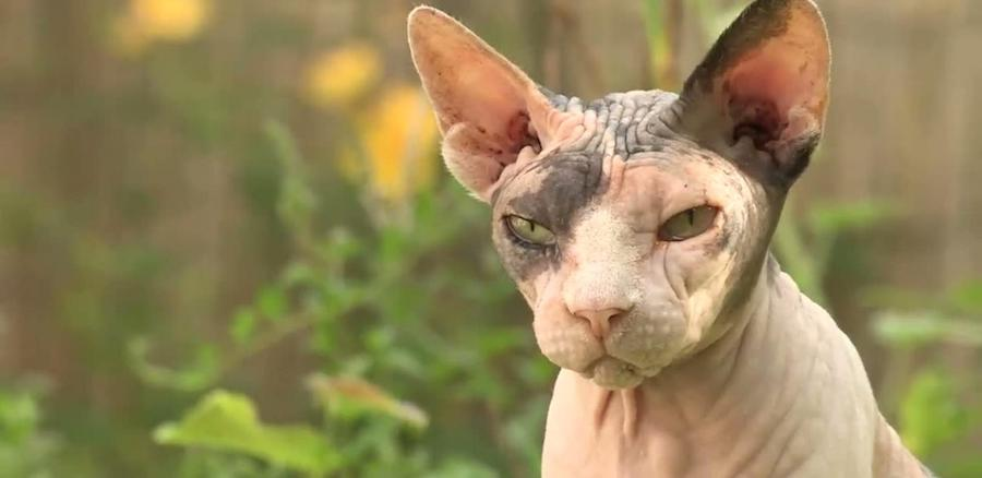 Peterbald chat laid