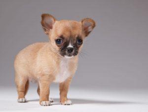 les 5 races de petits chiens les plus mignonnes