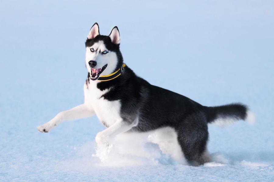 Husky de sibérie beau chien