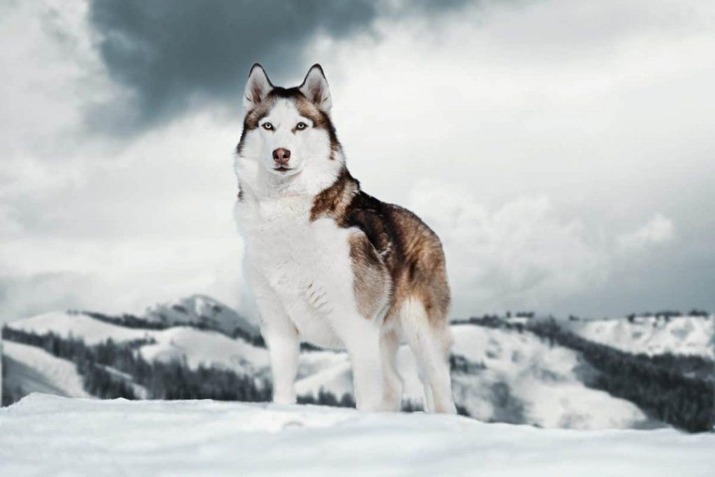 5 plus belles races de chien