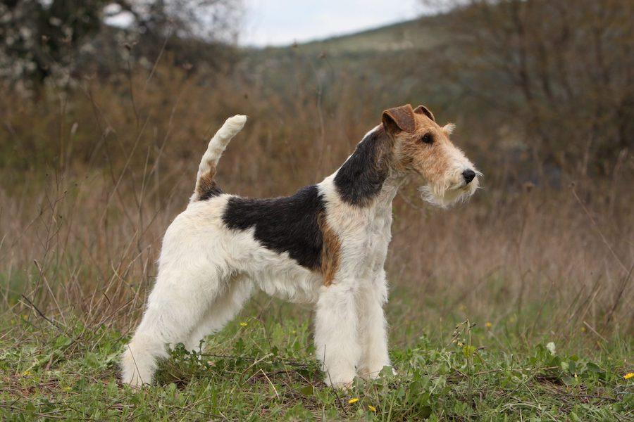le plus beau chien du monde est un fox terrier