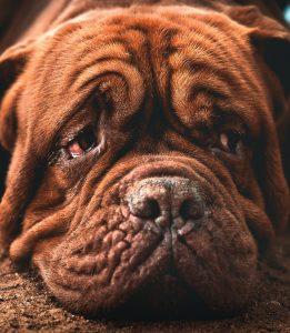 nettoyer yeux de son chien