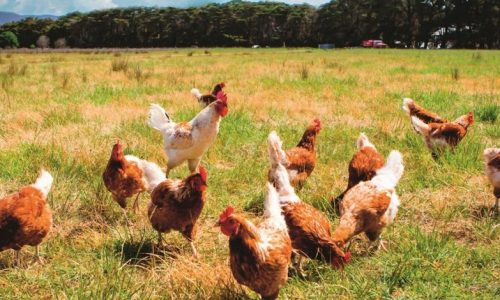 A flock of chickens roam freely in a lush green paddock near Clarkefield in Victoria, Australia