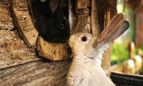 Les 3 races de lapins les plus mignonnes du monde