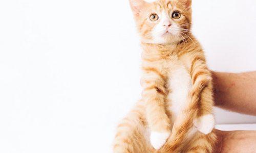 chat roux trop mignon