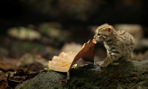Découvrez le plus petit chat au monde : le chat léopard d'inde